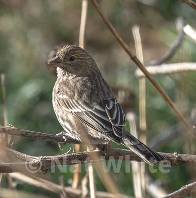 House_Finch-3954_January_10_2021_NAT_WHITE