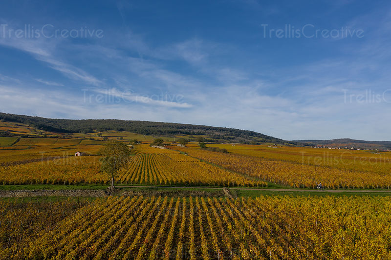A woman rides through Burgundy, France vineyards on bicycle