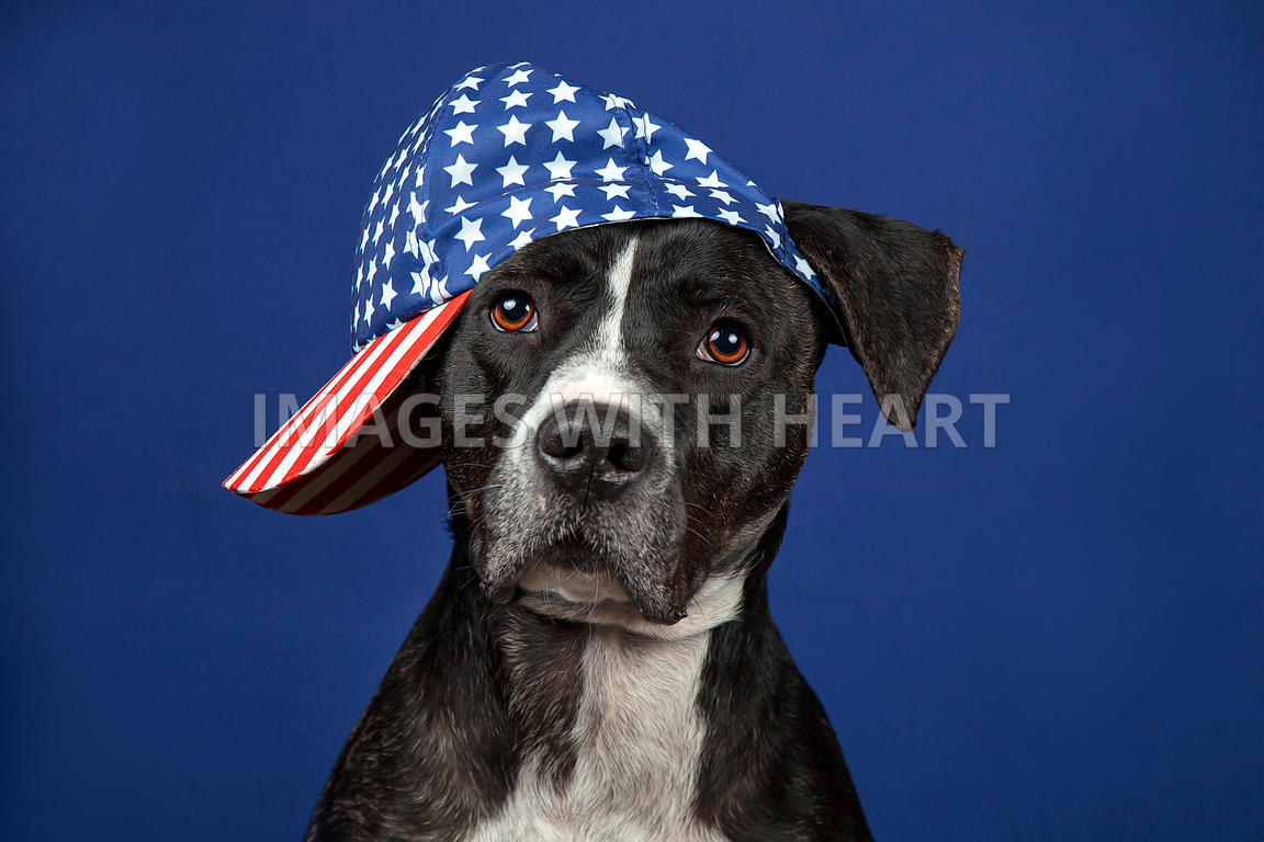 Dog_with_sideways_stars_&_stripes_hat_on_blue_background_looking_at_camera