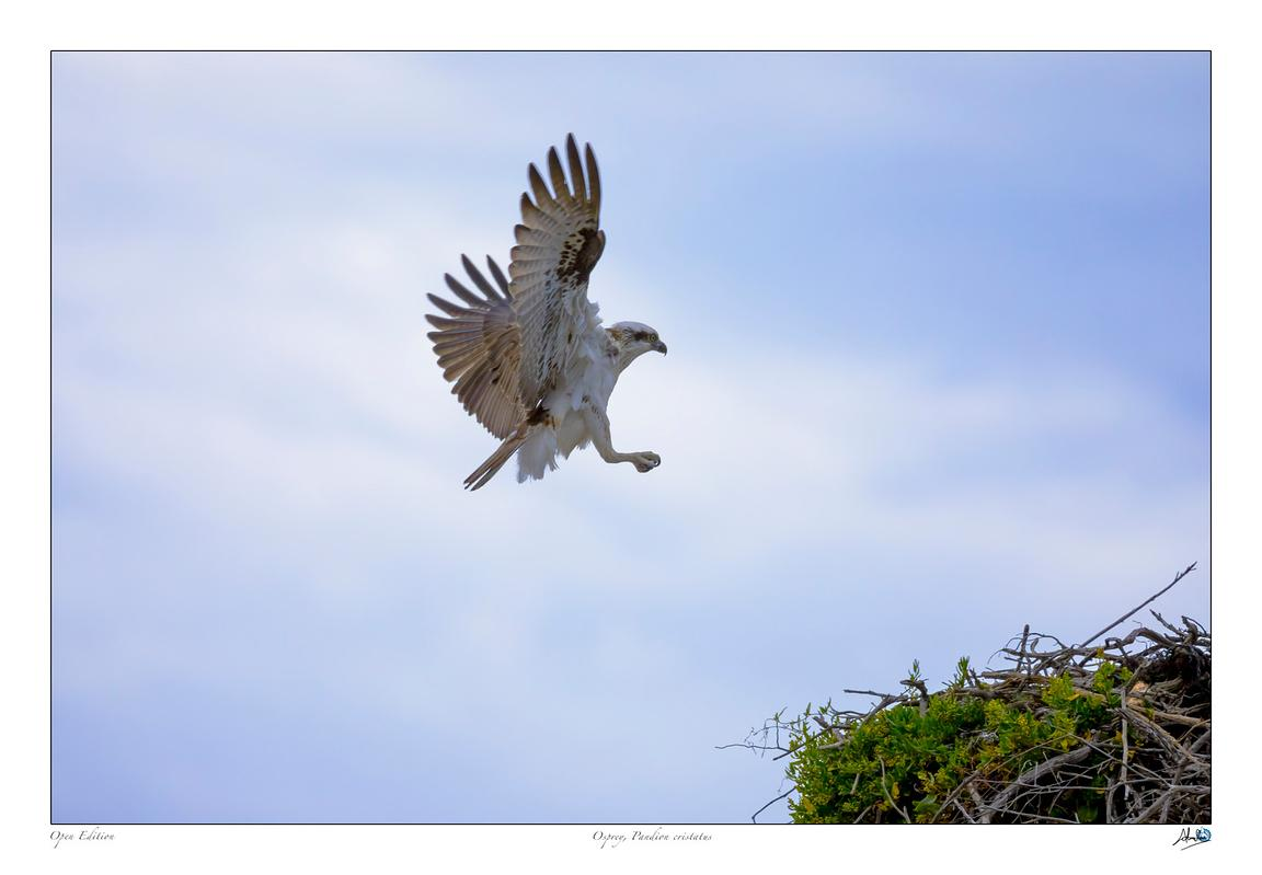 Osprey coming into land on it's nest