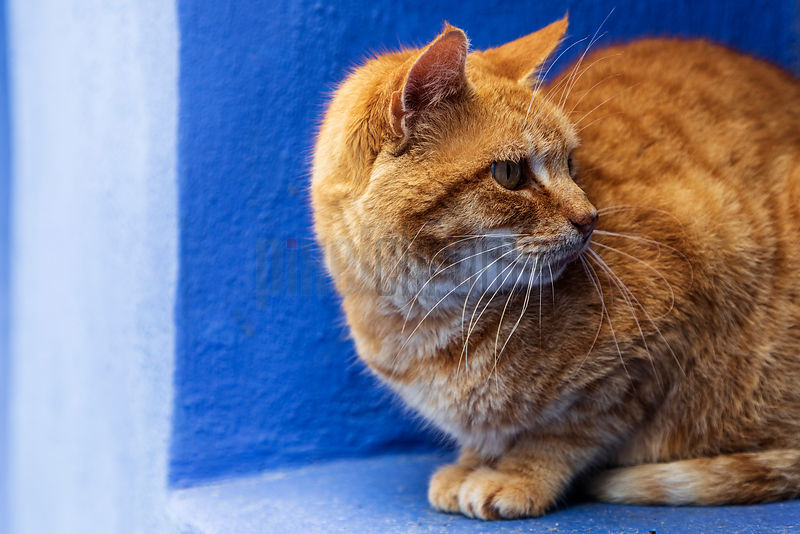Portrait of a Ginger Cat in the Streets of Chefchaouen