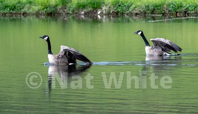 Canadian_Geese_flight_Date_(Month_DD_YYYY)1_1600_sec_at_f_7.1_NAT_WHITE