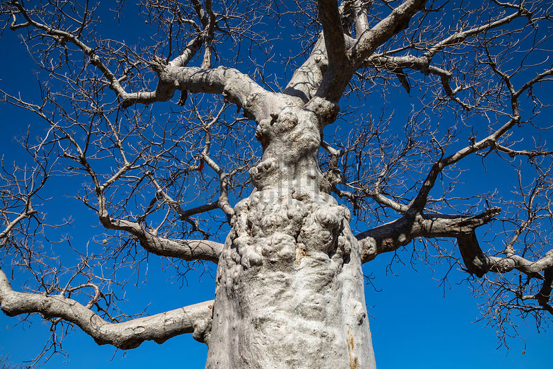 Boab Tree against a Deep Blue Sky