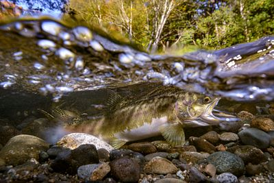 Pink Salmon Spawning sequence 3-03