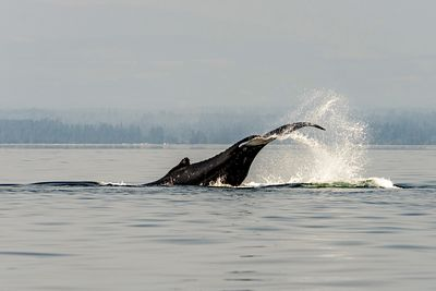 Humpback whale tail slapping. This is a way of communicating to other whales.