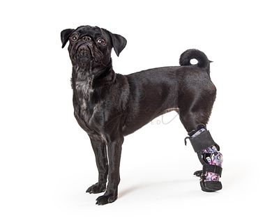 Young Black Pug Dog Injured Paw