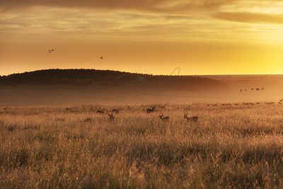 Impala in Africa Grasslands at Golden Sunrise