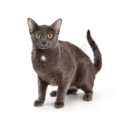 Grey Domestic Shorthair Cat Looking Forward