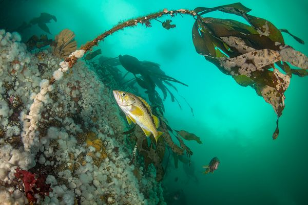 Yellowtail Rockfish, Sebastes flavidus, against a wall of short Plumose Anemone in Browning Pass