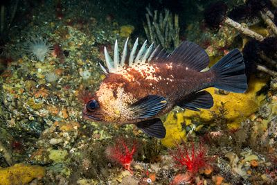 Quillback Rockfish, Sebastes maliger, in Telegraph Cove area with a variety of invertebrates, including Pedal Sea Cucmber and...