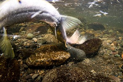 Pink Salmon Spawning sequence 1-02