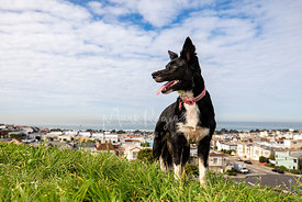 Border Collie Standing Atop Grassy Hill in San Francisco Sunset Neighborhood
