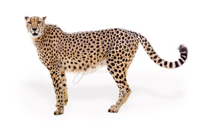 Cheetah Facing Side Extracted