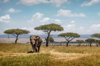 African Elephant Bull Walking Through Acacia Tree Field