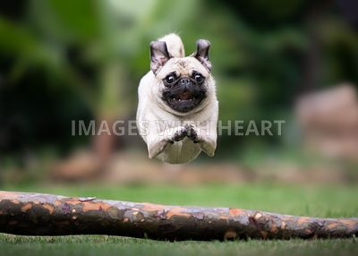 Pug jumping over log