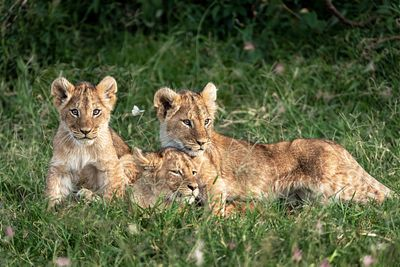 Three Cute Lion Cubs in Kenya Africa Grasslands