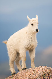 Newborn Mountain Goat Kid