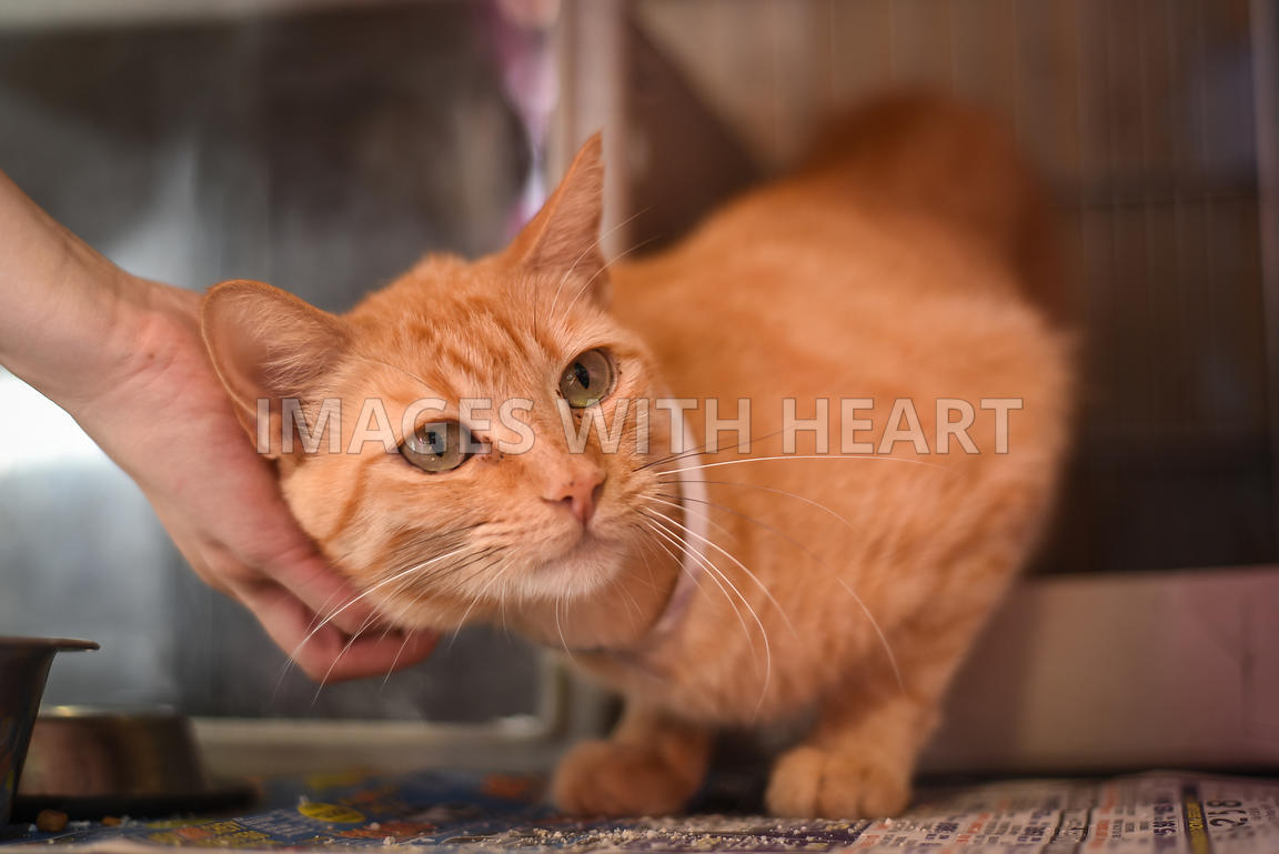 Orange tabby being pet