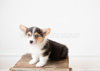 Tricolor corgi puppy sitting on crate