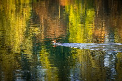 Merganzer duck in reflections in the Campbell River.