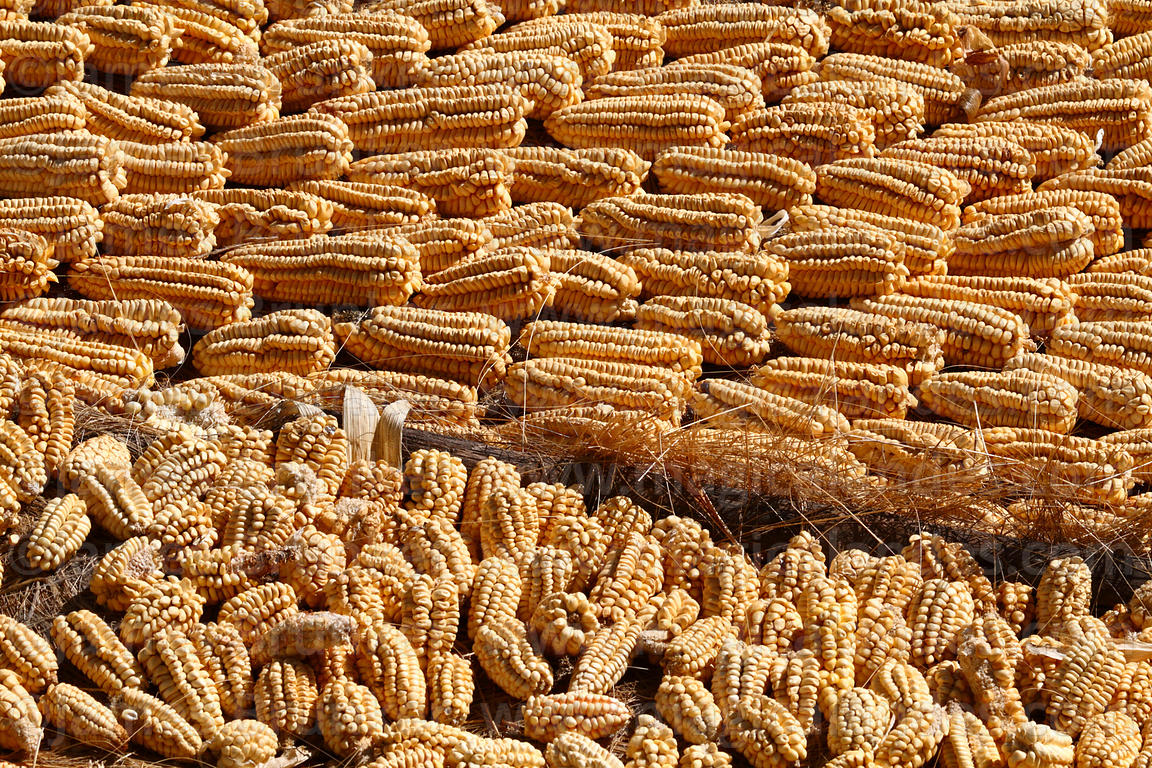 White maize / maiz blanco drying on ground in Sacred Valley, Peru