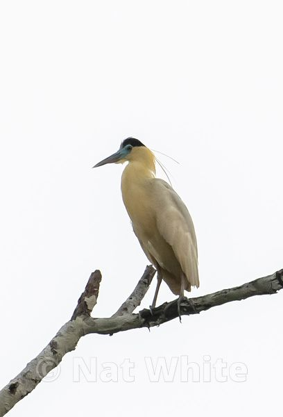 Amazon-crested_heron_Date_(Month_DD_YYYY)1_320_sec_at_f_7.1_