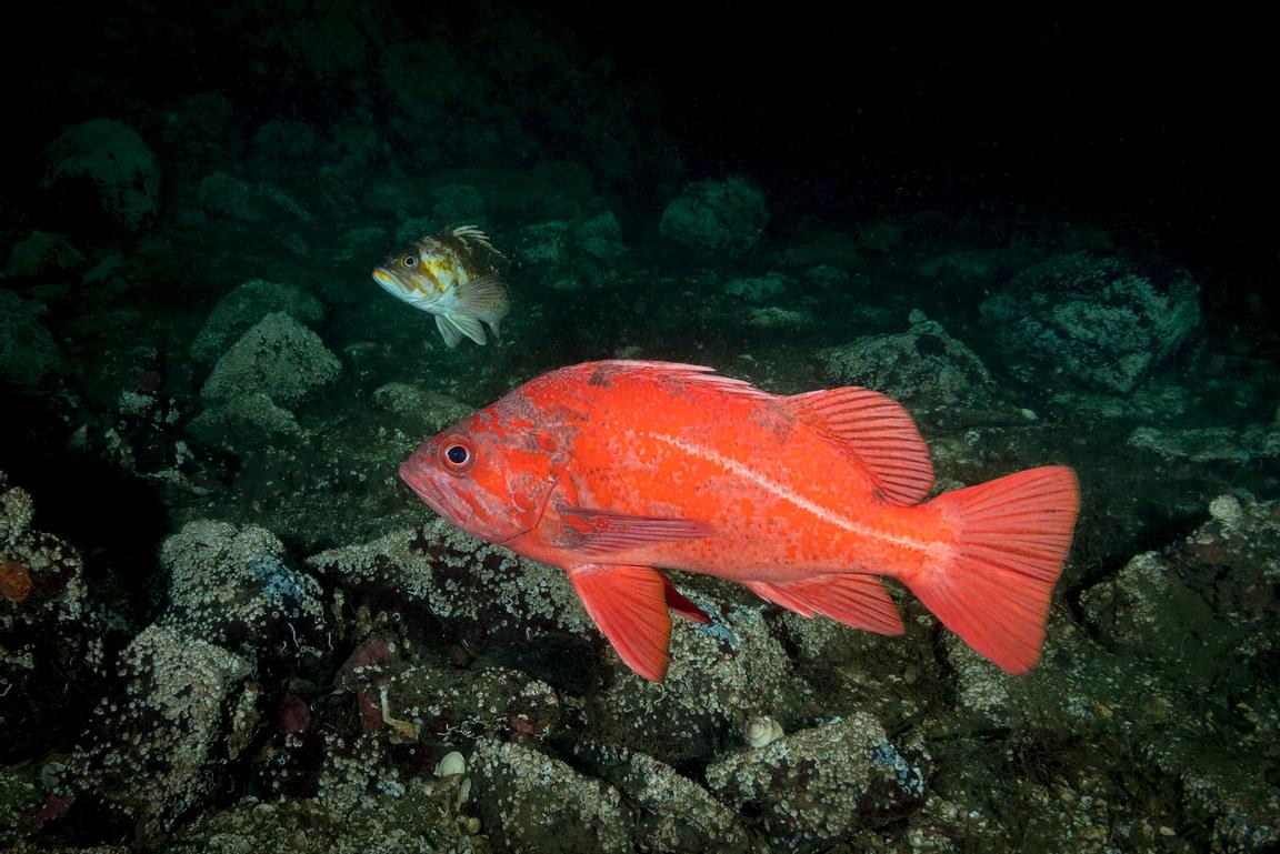 Single Vermilion Rockfish, Sebastes miniatus, and a Copper Rockfish behind, in Saanich Inlet, Vancouver Island.