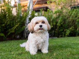 Small White and Tan Dog Sitting on Grass