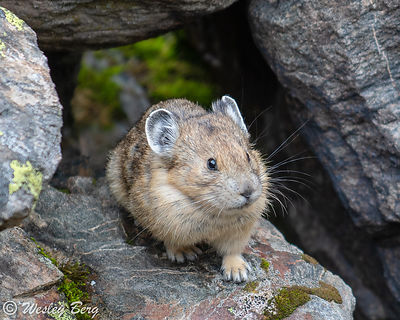 Pika Emerging from the Rocks