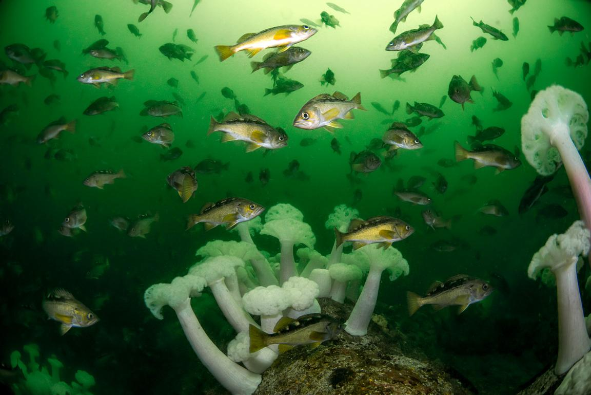 Large school of Yellowtail Rockfish, Sebastes flavidus, and Plumose Anemone in Barkley Sound, Vancouver Island.