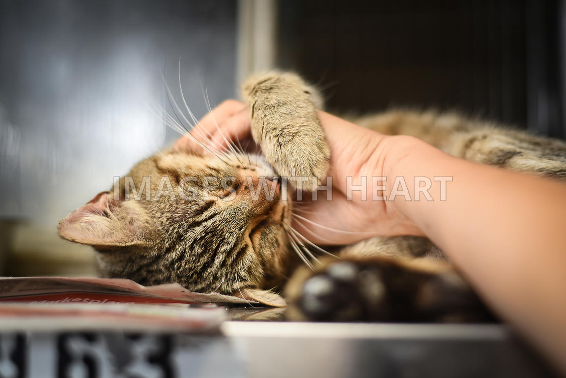 Brown tabby snuggling hand