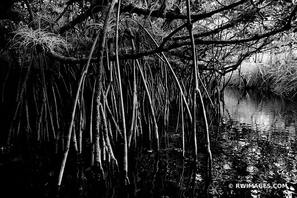 TURNER RIVER MANGROVE TUNNEL FOREST BIG CYPRESS NATIONAL PRESERVE EVERGLADES FLORIDA BLACK AND WHITE