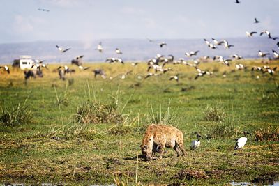 Hyena Eating With Birds Flying in Kenya