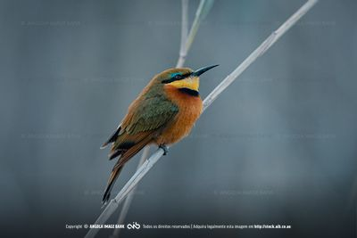 A perched Little bee-eater, Merops pusillus