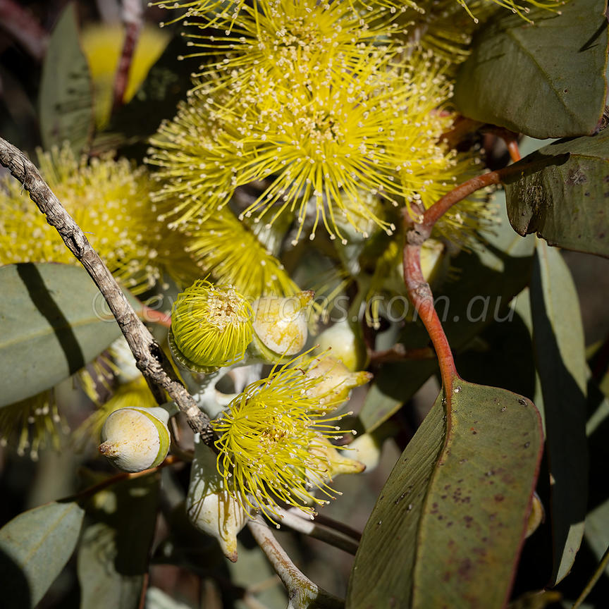 Flowers and buds Eucalyptus woodwardii.