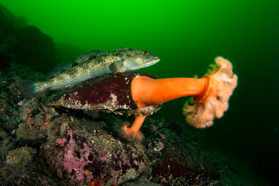 Lingcod, Ophiodon elongatus, perched on a rock with Plumose Anemone on Hornby Island.