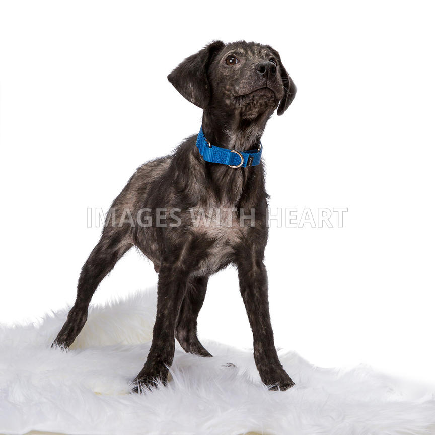 Black puppy with blue collar
