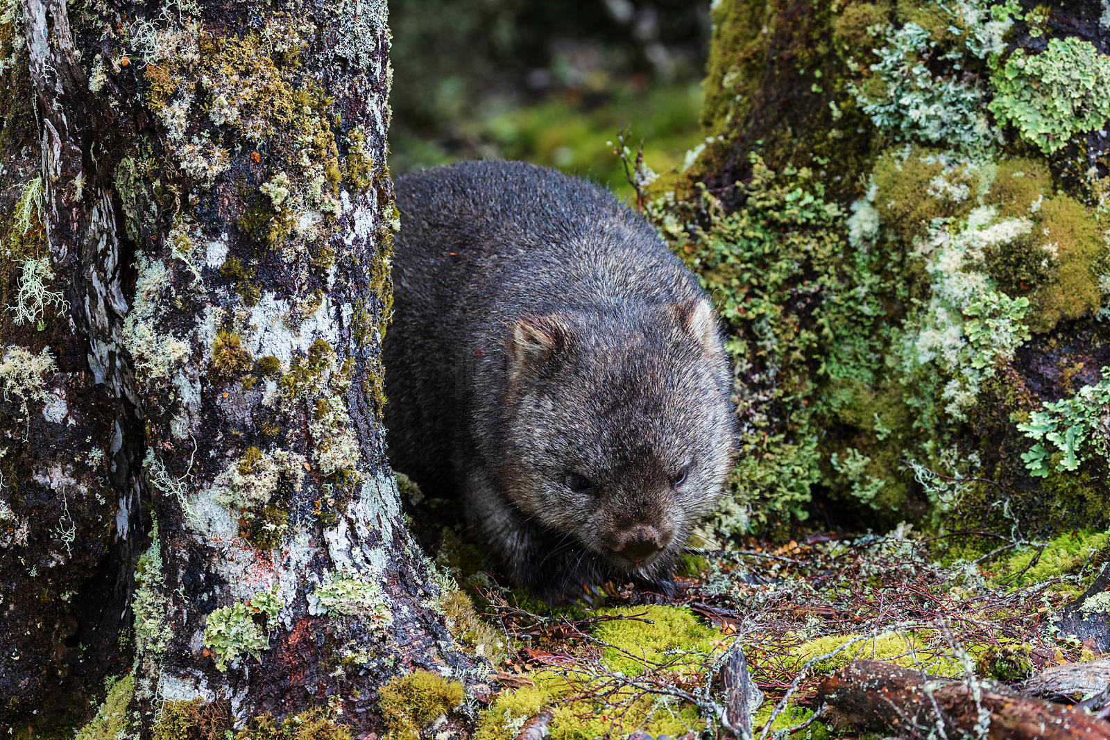 Portrait of a Wombat in Temperate Rainforest