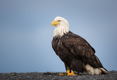 Bald Eagle on the Shingle