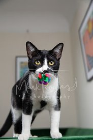 Tuxedo Cat Standing with Toy in Mouth