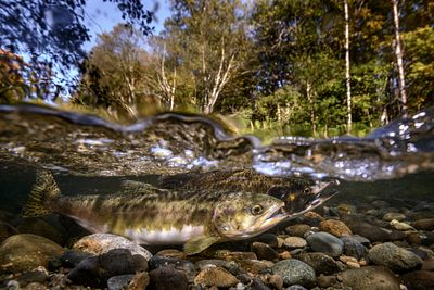 Pink Salmon Spawning sequence 3-01