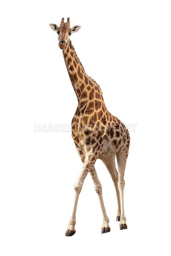 Endangered Rothschilds Giraffe Isolated