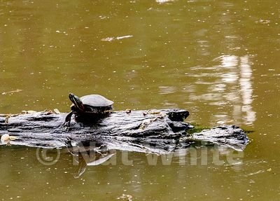 Turtle_Log-5362_May_10_2019_NAT_WHITE