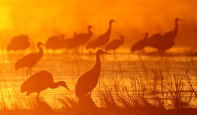 Cranes in the Mist at Sunrise