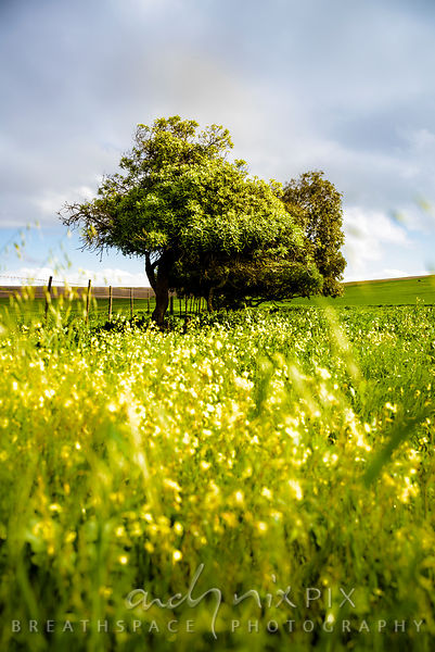 A low view looking up through yellow flowers of a row of trees in a lush green field