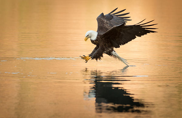 Bald Eeagle and Golden Water III