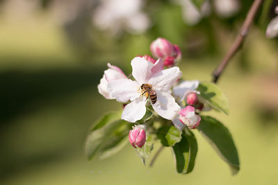 apple blossom bee