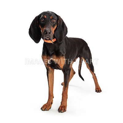 Black and Tan Coonhound Dog Standing