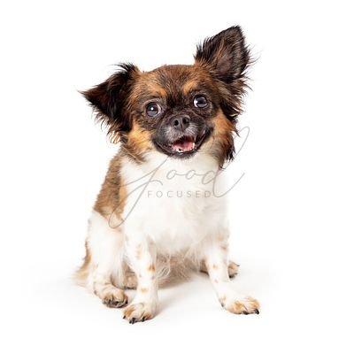 Cute Friendly Happy Small Papillon Mix Dog