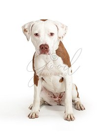 Sad white pet pit bull dog sitting isolated